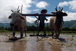 0706-burma-myanmar-rice_full_600_2942743.jpg